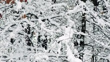 Snowy Branches Of Trees In Forest
