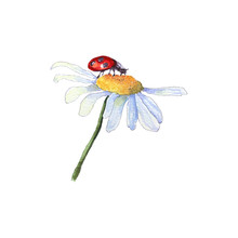 Watercolor Camomile Flower With Ladybird