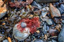 Periwinkle Snail Seaweed And Rocks Macro