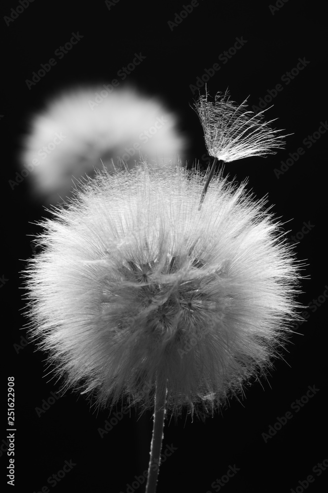 Fototapety, obrazy: Dandelions close-up on dark