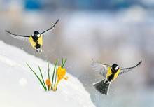 Beautiful Holiday Card With Two Birds Tit Fly Widely Spreading Their Wings Over The First Tender Yellow Flowers Crocuses Make Their Way From Under The White Snow On A Sunny Day In The Garden