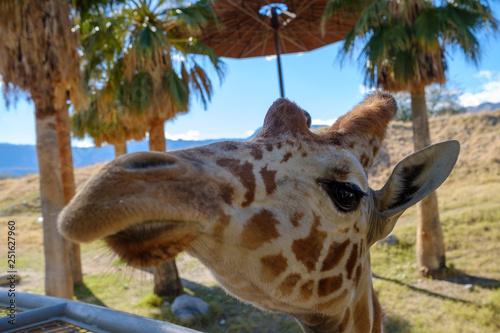Żyrafa stoi na wzgórzu z wzgórzami w tle