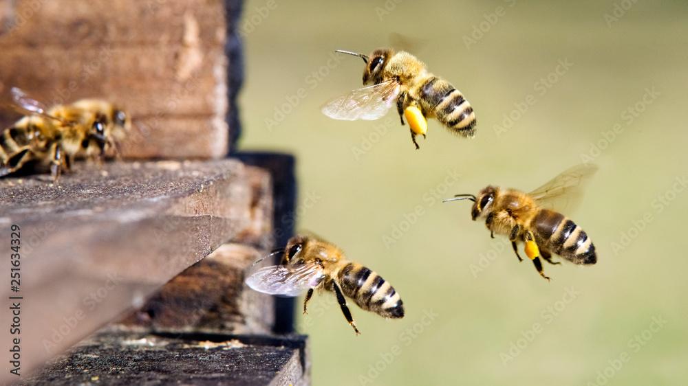 Fototapety, obrazy: Honigbienen am Bienenstock