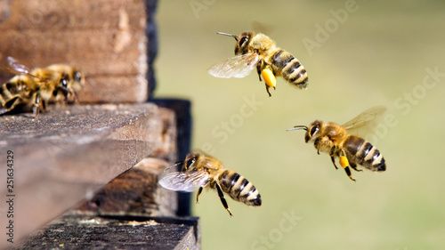 Photo sur Toile Bee Honigbienen am Bienenstock