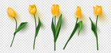 Fototapeta Tulipany - Realistic vector tulips set on transparent background.Vector illustration