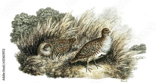 Woodcock Slika na platnu
