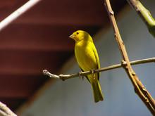 Bird, Canary, Yellow Bird, Nature, Peace, Restful,  Contemplative, Brazil, Brazil Nature