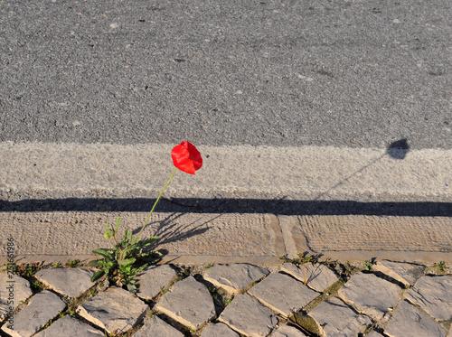 Photo  Growing poppy flower on the asphalt road