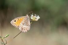 Satyridae / Seyit / / Arethusana Arethusa