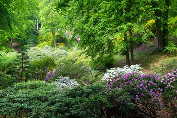 Fototapeta Optyczne powiększenie Rhododendron frowers at a garden