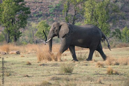 elephant roaming in the bush