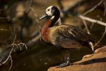 White-faced Whistling Duck. (D...