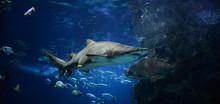 Large Ragged Tooth Shark Pictu...
