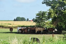 Cows Under Shade Tree