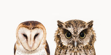 The Most Common Owl Species In...