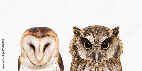 Deurstickers Uil The most common owl species in the world. High resolution photo of an owl.