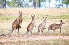 Family Of Wild Eastern Grey Kangaroo In Queensland, Australia