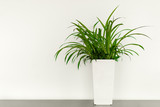 Green plant in a white pot in front of a white wall with a copy space in the office
