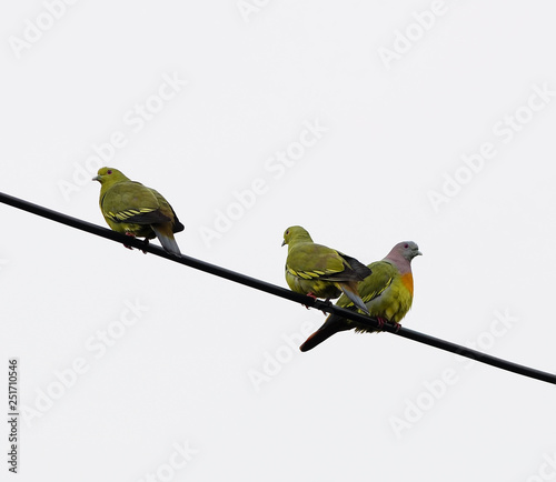 Pink-necked Green-Pigeon (Treron vernans), perching on the cable