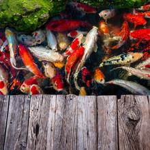 Koi Fishes Group Swiming.