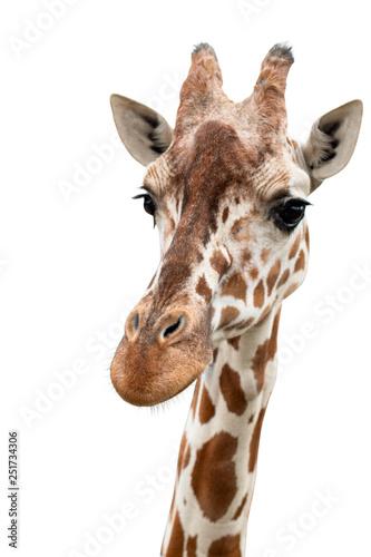 In de dag Giraffe A curious giraffe looks into the camera, cut out