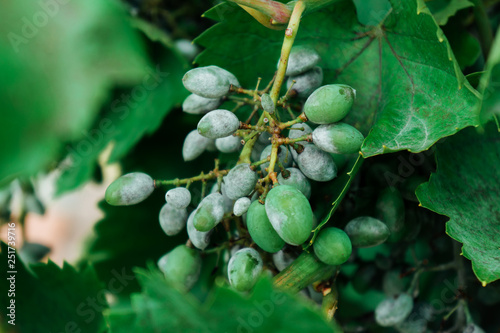 Fototapeta Grape Green is affected by the disease.