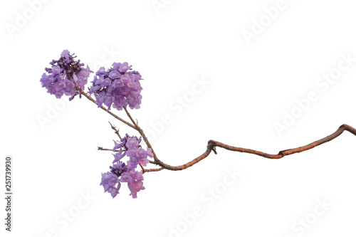 Poster Trees Jacaranda Flower isolated on white background, a species with an inflorescence at the tip of the purple flower, is native to South America.