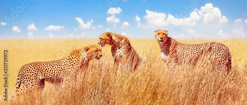 Group of cheetahs in the African savannah. Africa, Tanzania, Serengeti National Park.