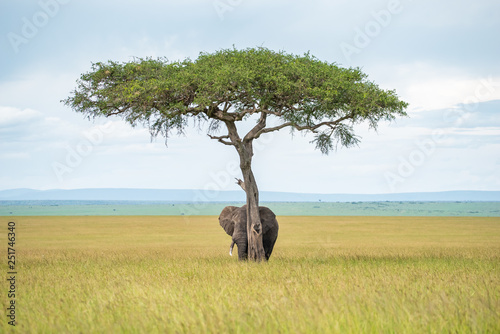Elephant hiding under the tree Canvas Print