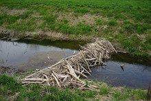 Beaver Dam In A Riverside Fore...