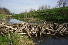 Beaver Dam In A Riverside Fore...