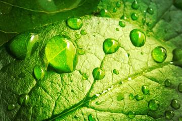 Piękne krople przejrzysta podeszczowa woda na zielonym liściu makro-. Wiele kropli rosy rano w słońcu. Piękna liść tekstura w naturze. Naturalne tło.