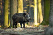 Sus Scrofa. The Wild Nature Of...