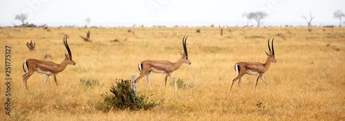 Antylopy na użytkach zielonych sawanny Kenii