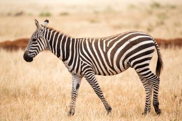 Fototapeta na wymiar A zebra standing or walking throught the grassland