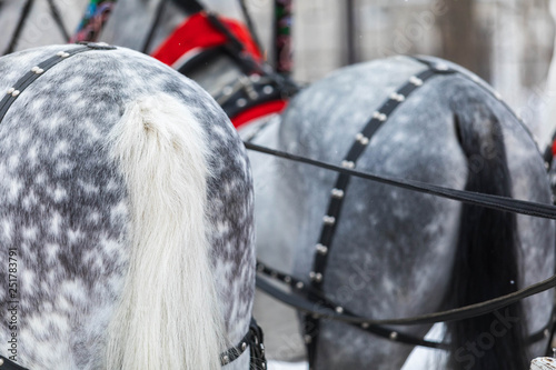 Valokuva  Thoroughbred the horse of breed a trotter is put to the traditional Russian three