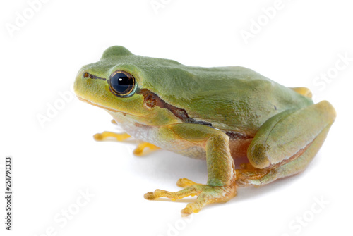 Ingelijste posters Kikker Green tree frog isolated on white background