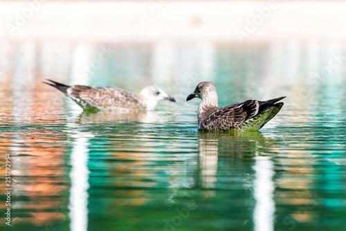 Fotografie, Obraz  Seagull floating on a fresh water pond