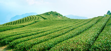 Beautiful Tea Garden Rows Scen...