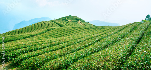 Beautiful tea garden rows scene isolated with blue sky and cloud, design concept Canvas Print