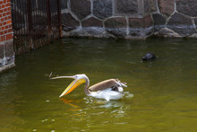 A Pelican Catches Fish And A S...