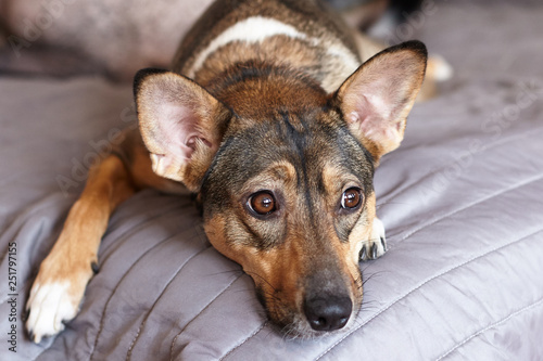 Fotografia  Small melancholy brown adopted dog (mongrel) with smart look lays on the grey cover at home and waits for owner
