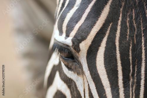 Fototapety, obrazy: Close up zoom shot of zebra face.