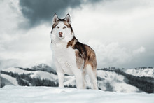 Gorgeous Siberian Husky Dog Standing On Top Of Mountain Next To Cliff.