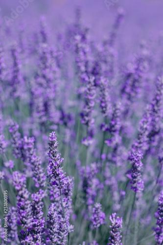 Fototapeta Lavender violet flowers obraz na płótnie