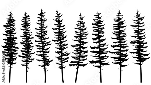 Fényképezés  Silhouettes of tall spruce trees with rare branches.