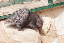Little Porcupine, Cub, Natura