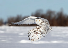 Snowy Owl Female (Bubo Scandiacus) Lifting Off The Snow To Hunt Over A Snow Covered Field In Ottawa, Canada