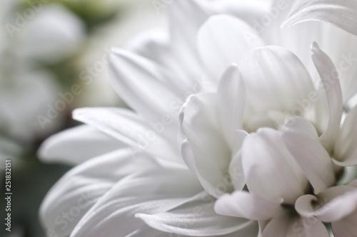 Poster de jardin Dahlia Bud white Chrysanthemum flower close-up, Mothers Day, greeting card
