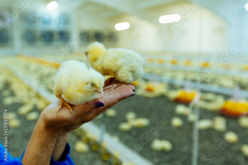 Two young chicks in hands of farmer Canvas Print